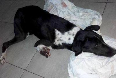 Tuliszków: W Grzymiszewie znaleziono okaleczonego psa